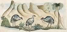 Original drawing of the extinct White Gallinule by Arthur Bowes Smyth, surgeon aboard First Fleet ship HMS Lady Penrhyn
