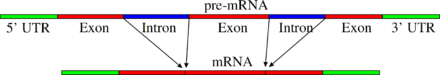 schéma de l'épissage de deux introns dans un ARN messager. Le schéma montre comment la séquence codante est interrompue par la présence de deux introns, et ne peut être rétablie que par l'excision de ces deux séquences