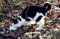 Un chat ayant capturé un rat blanc