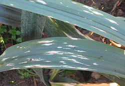 Phytophthora porri sur une feuille de poireau (Allium porrum)