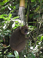 A brown-colored lemur clings to a shaft of giant bamboo while eating a fragment in its hands.