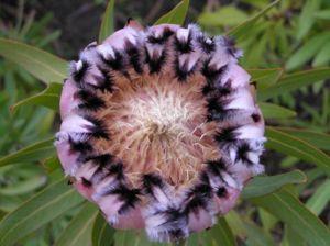 Protea nerifola close.jpg