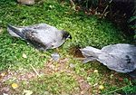 Photograph of two grey birds on the ground