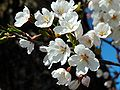 Prunus serrulata 2005 spring 018.jpg