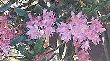 Purplerhododendron.jpg