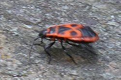 Gendarme (Pyrrhocoris apterus)