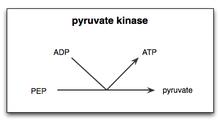 Pyruvate kinase.png