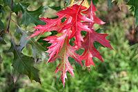 Quercus coccinea Fe1aJPG.jpg