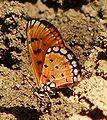RN019 Acraea violae UN.jpg