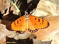 RN022 Acraea violae UP.jpg