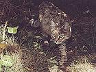 RTEmagicC je felis-silvestris-ornata-.jpg