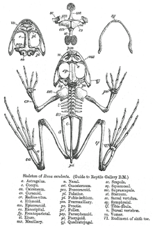 Skeleton of frog