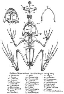 Skeleton of frog