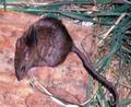 Un petit rongeur gris-brun aux yeux noirs, vu du haut