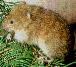 Rote Baumwühlmaus (Arborimus longicaudus)