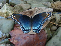 Red Spotted Purple.JPG