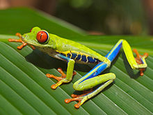 Red eyed tree frog edit2.jpg