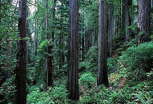 El Parque Nacional Redwood, en California (Estados Unidos), donde se rodaron escenas de la luna Endor.