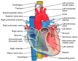 Relations of the aorta, trachea, esophagus and other heart structures.png