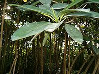 Rhizophora mangle BotGardBln1105RootsLeaves.JPG