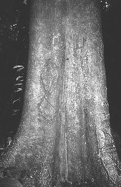 Ricinodendron heudelotii trunk.jpg