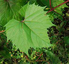 la photographie couleur présente une feuille de vigne en gros plan, devant un rameau rouge sang.