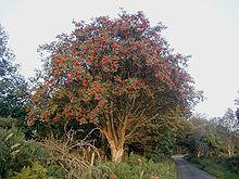 La photo montre un arbre de l'espèce Sorbus aucuparia, ou sorbier des oiseleurs, dont les fleurs sont rouges.