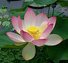 Sacred lotus Nelumbo nucifera.jpg