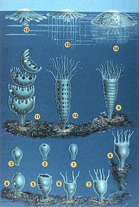 Illustration of two life stages of seven jelly species.