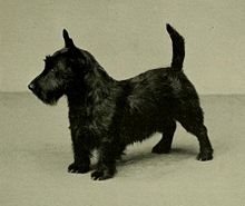 """""""A greyscale photograph of a typical black Scottish Terrier facing off camera in profile to the lower left"""""""