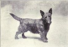 """""""A drawing of a dog resembling a modern Scottish Terrier."""""""
