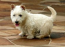 """""""A white Scottish Terrier with its back turned, although its head is turned back towards the camera."""""""