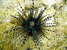 Photo of urchin with laterally-banded spines