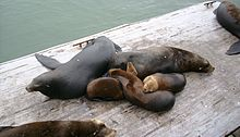 Adult and juvenile animals lying in a pile on wooden dock