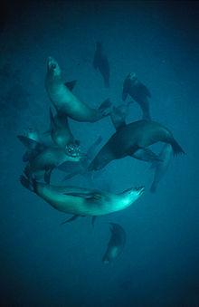 A pod of at least a dozen sea lions, swimming underwater.