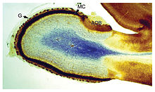 a blob with a blue patch in the center, surrounded by a white area, surrounded by a thin strip of dark-colored material