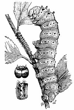 Silkworm 01.png