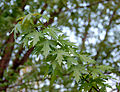 Silver Maple Acer saccharinum Leaves 2598px.jpg