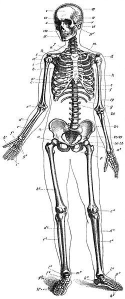 Skelett-Mensch-drawing.jpg