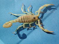 Skorpion fg01.jpg