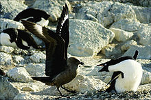 Brown gull-like bird on ground with wings outstreched confronts penguin that is leaning towards it with bill wide open