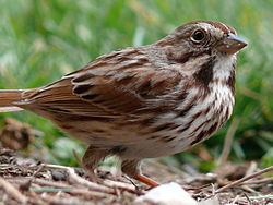 Song Sparrow-27527-2.jpg