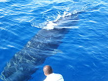 Photo from above of barely-submerged whale with man in foreground