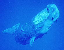 Photo of rectangular-shaped whale from the side having rough, bark-like skin towards the rear, two small pectoral fins, articulated flukes and a mottled white area above the eye