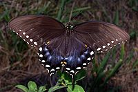 Spicebush Swallowtail in August.jpg