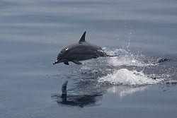 Spinner dolphin jumping.JPG