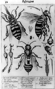 Planche en noir et blanc avec abeilles et détails anatomiques