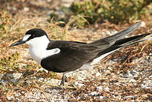 Close-up picture of the Sooty Tern