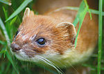Stoat at British Wildlife Centre.jpg