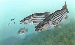 Striped bass FWS 1.jpg
